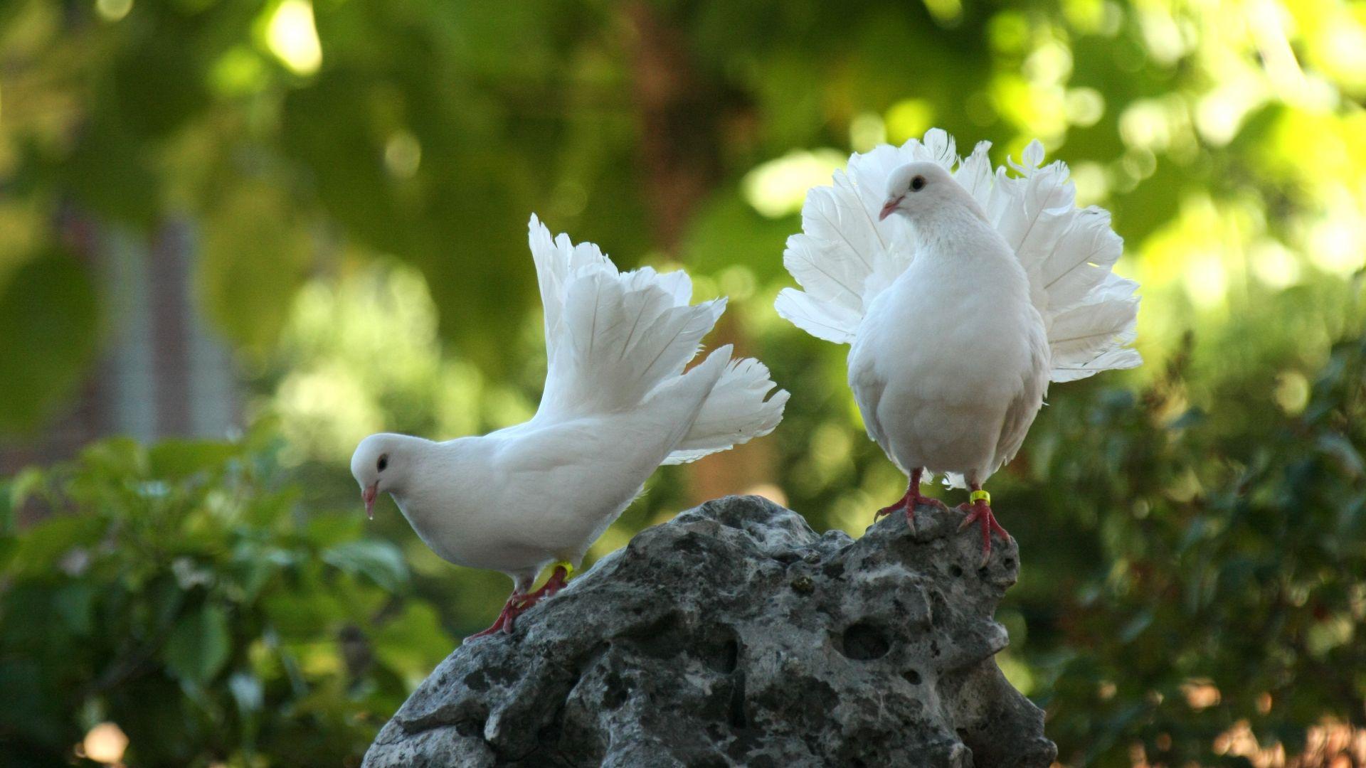 Wallpaper Dove, white birds, pair