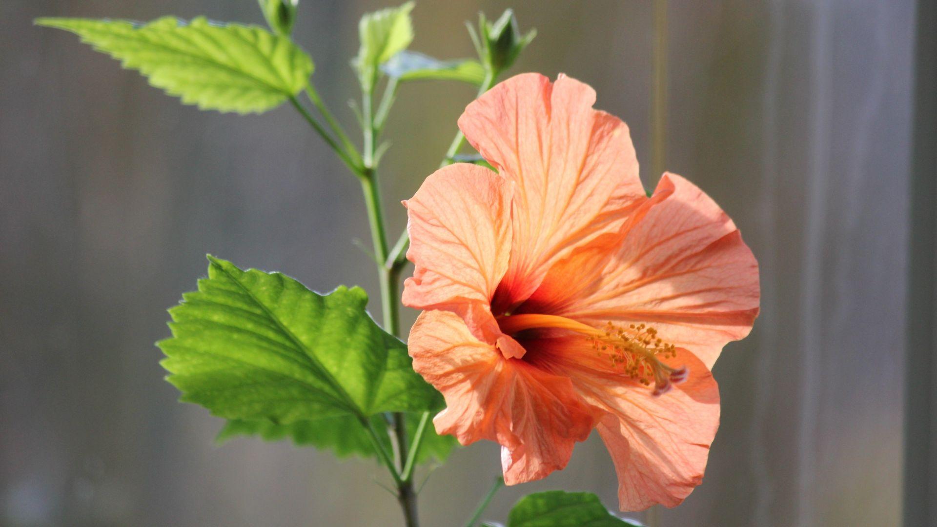 Wallpaper Hibiscus flower, close up