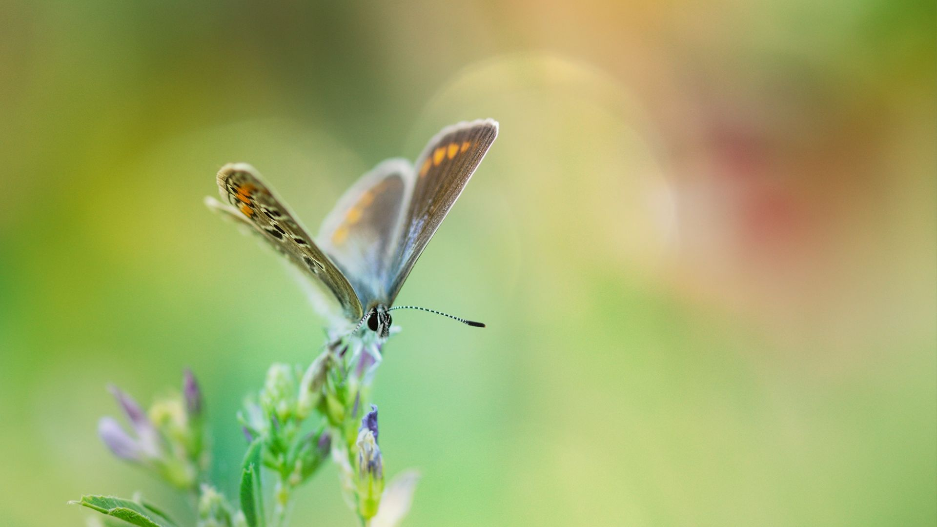 Wallpaper Common blue butterfly, insect, blur