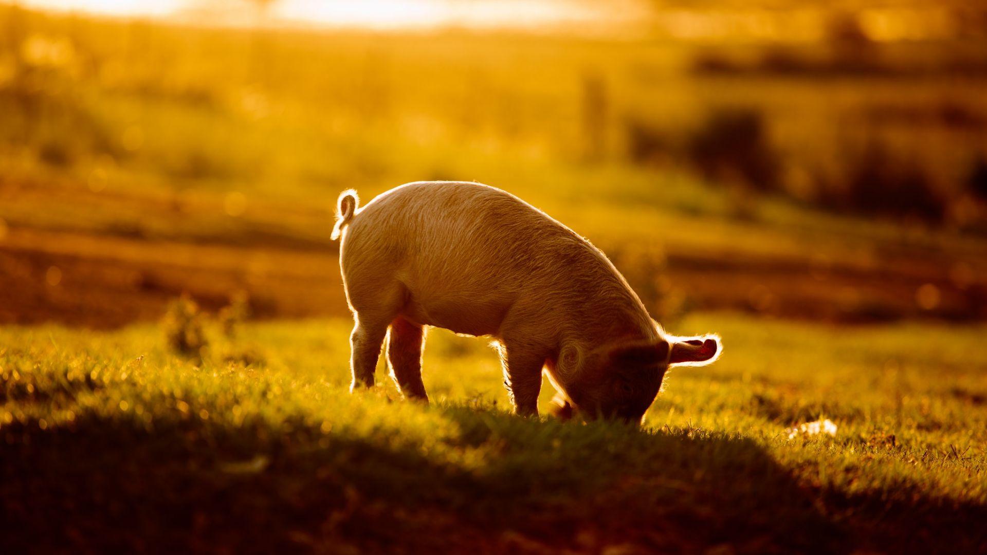 Wallpaper Baby pig, sunlight, landscape
