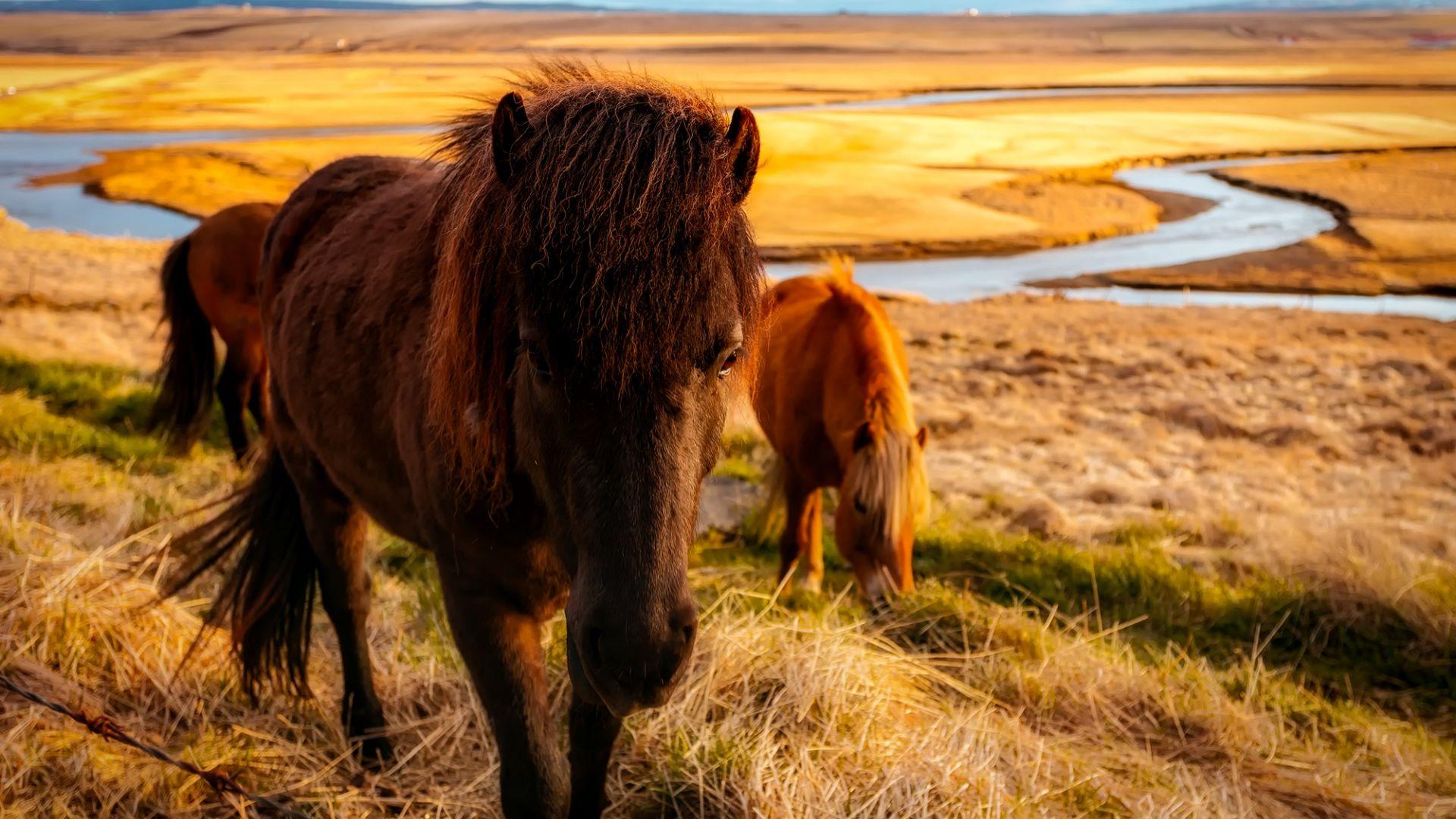 Iceland, horses herd, river, landscape