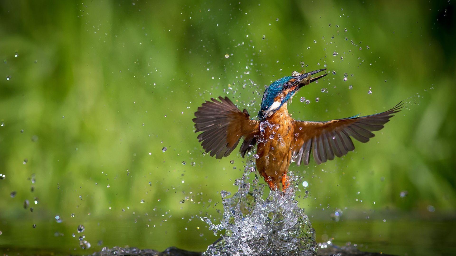 Wallpaper Kingfisher bird