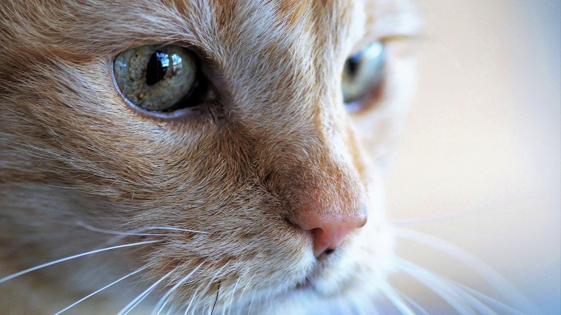 Wallpaper Fur, eyes, muzzle, cat, pet animal