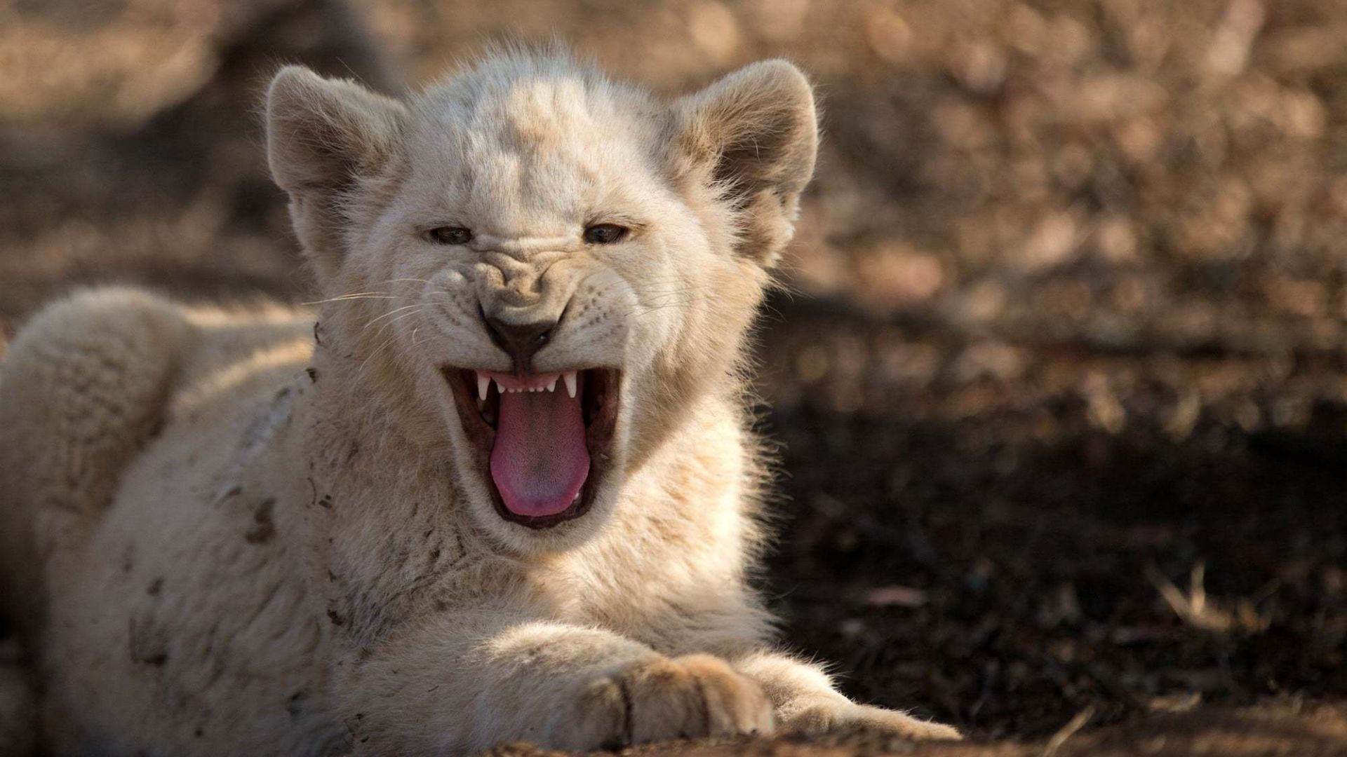 Desktop Wallpaper Angry, Baby White Lion, Cub, Wild Animal ...