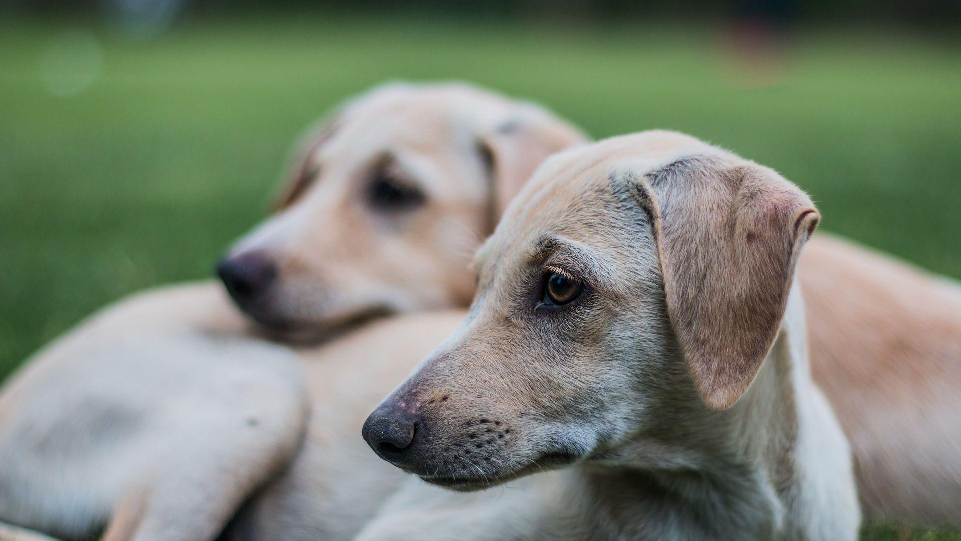 Wallpaper Puppy dogs, sit, calm