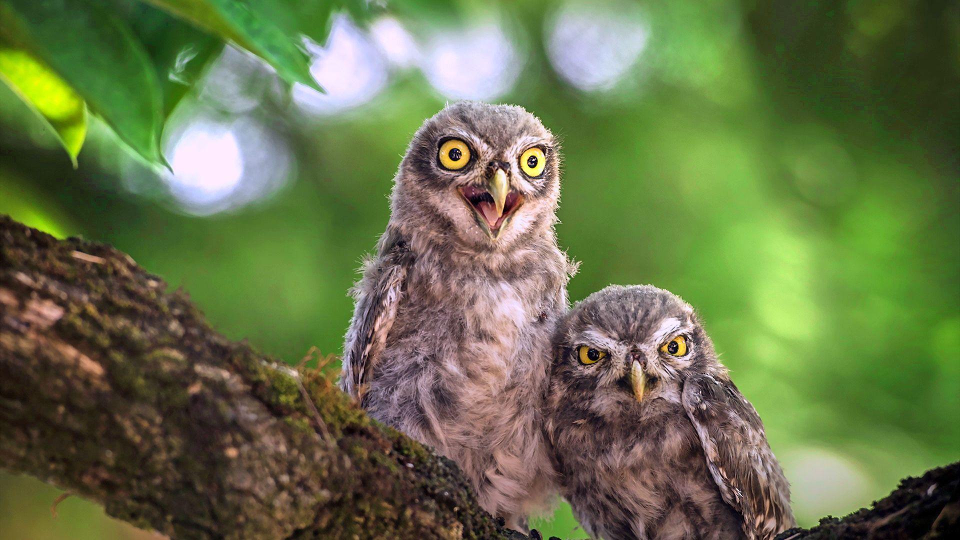 Cute Baby Owl Birds, Sitting Wallpaper, 1920x1200, Hd