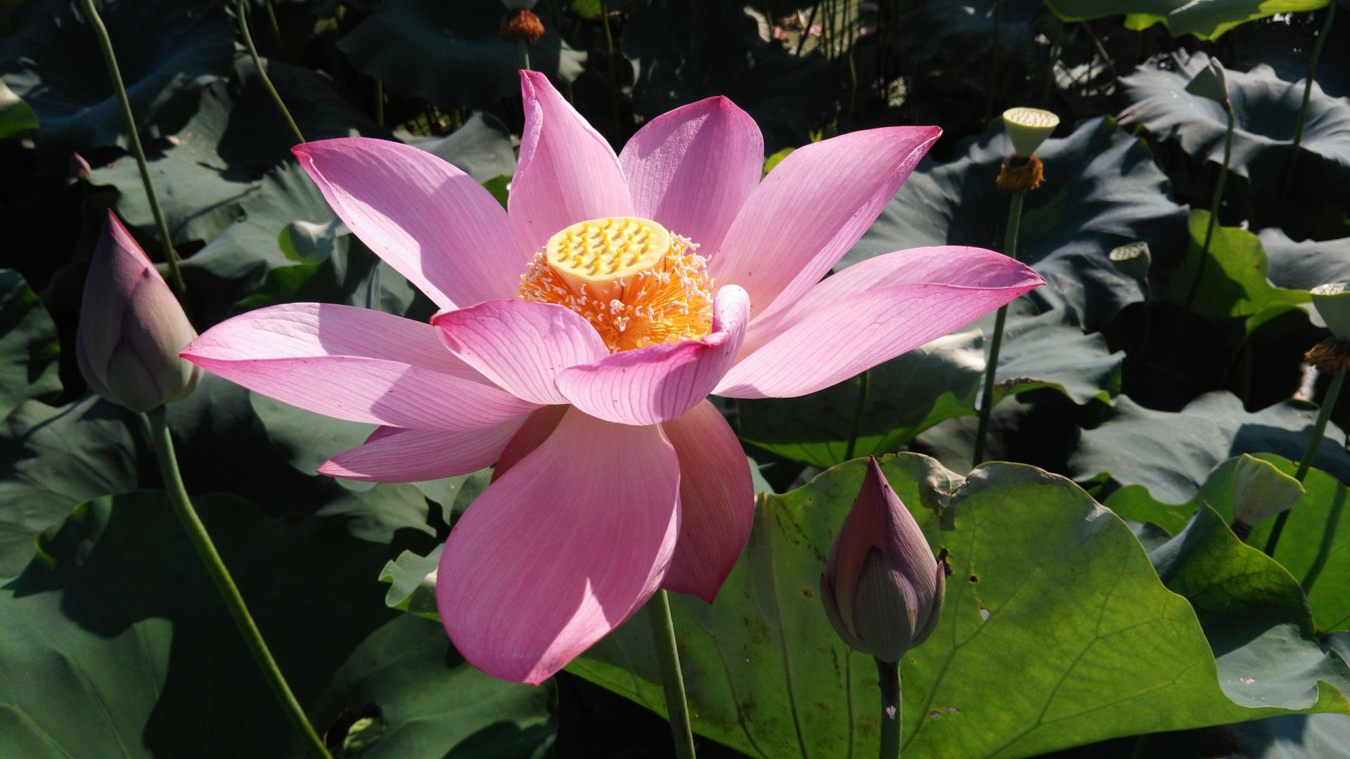 Wallpaper Lotus flower, summer, blossom