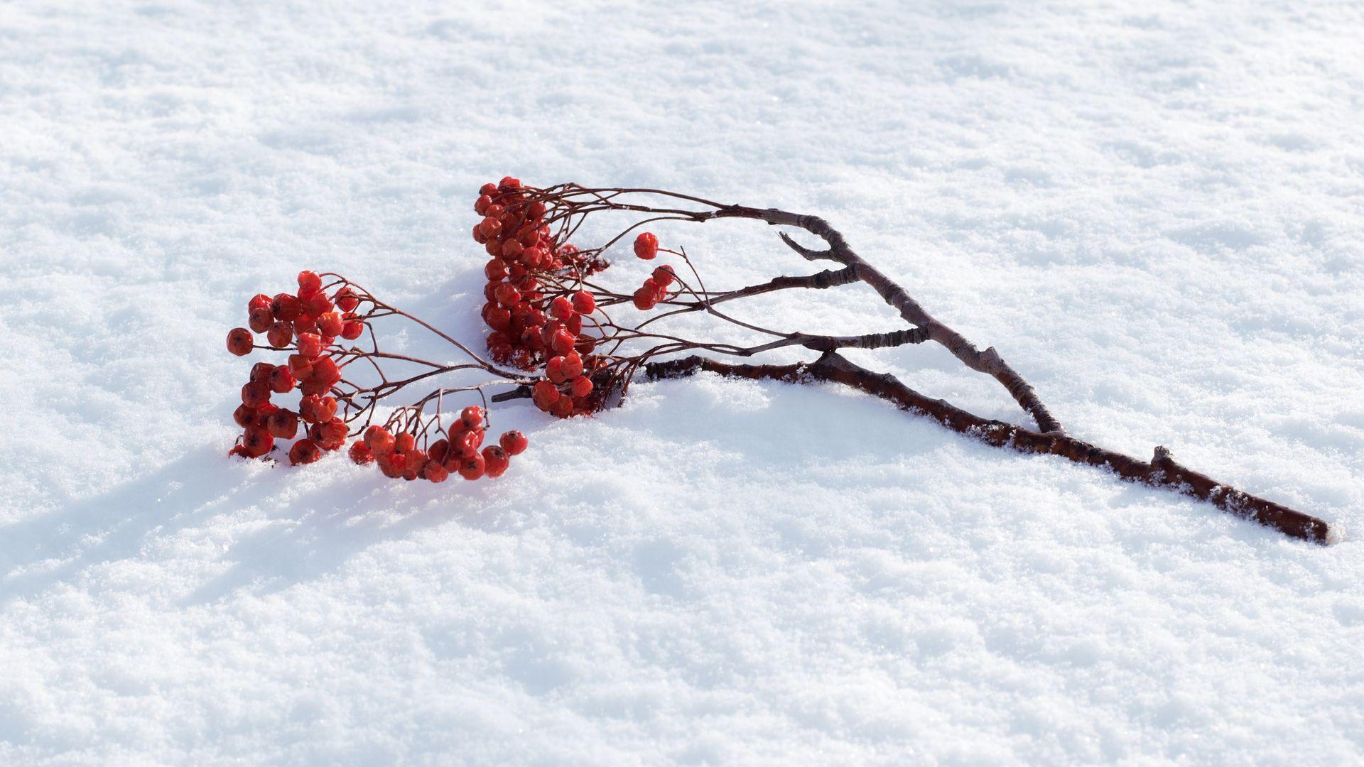 Wallpaper Cherry, winter, fruits, tree branch