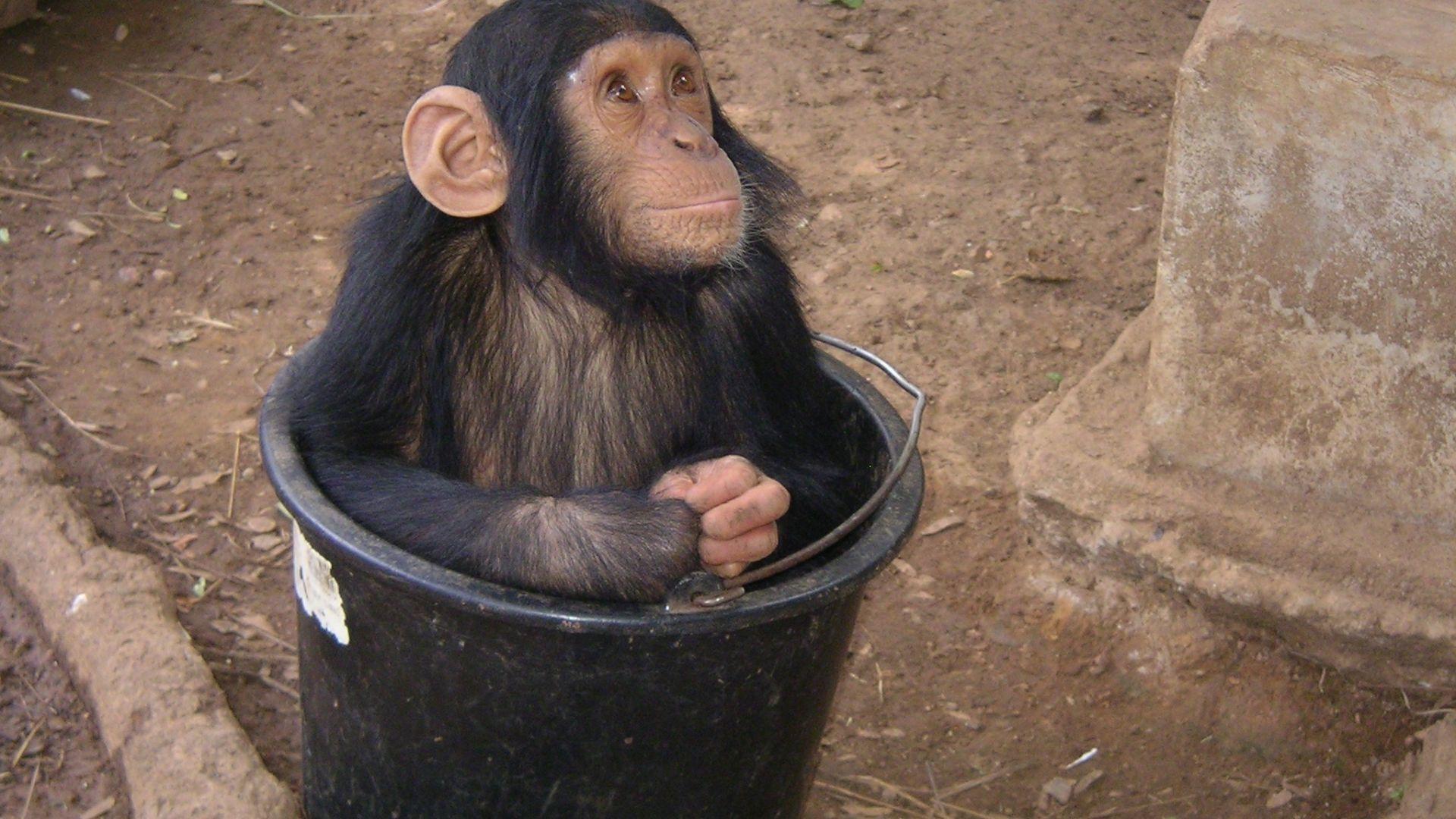 Wallpaper Monkey, animal, in bucket, play