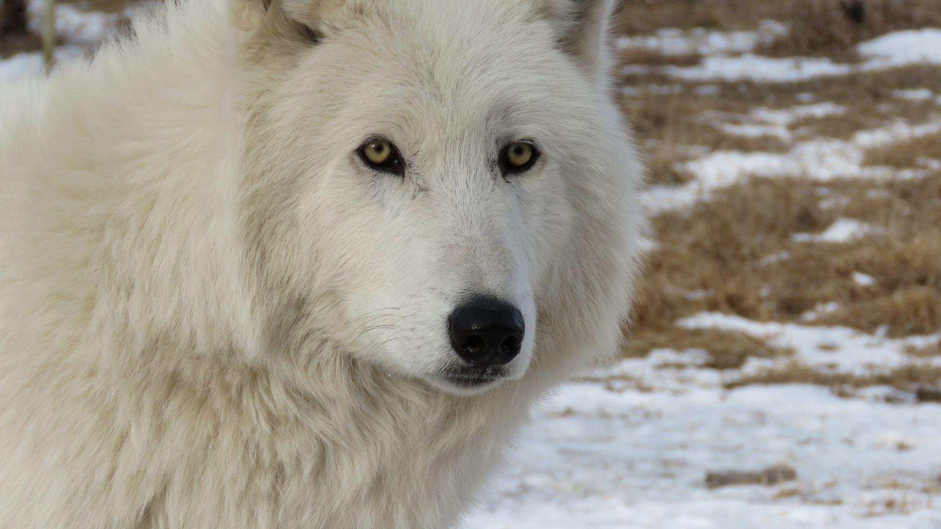 Wallpaper Arctic white wolf animal