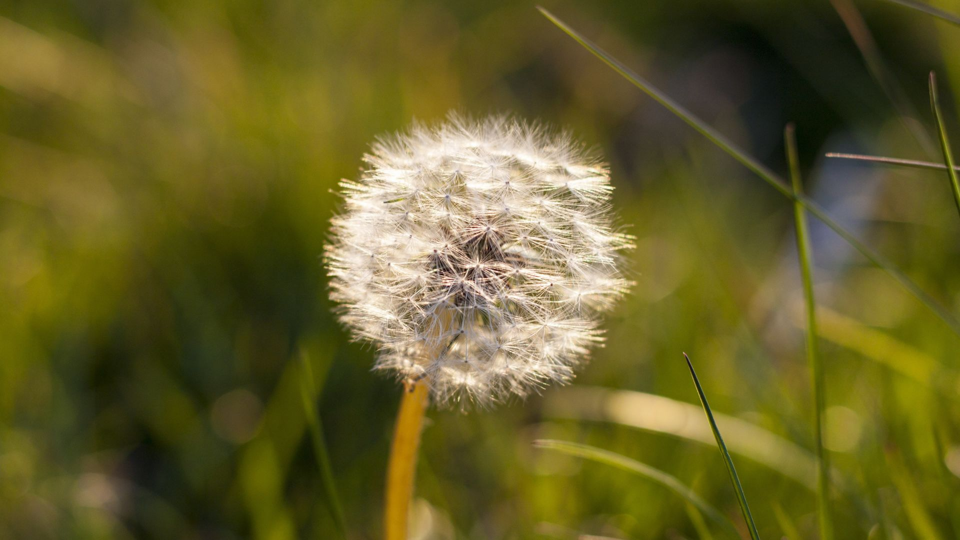 Wallpaper Dandelion flower, weed, meadow, grass