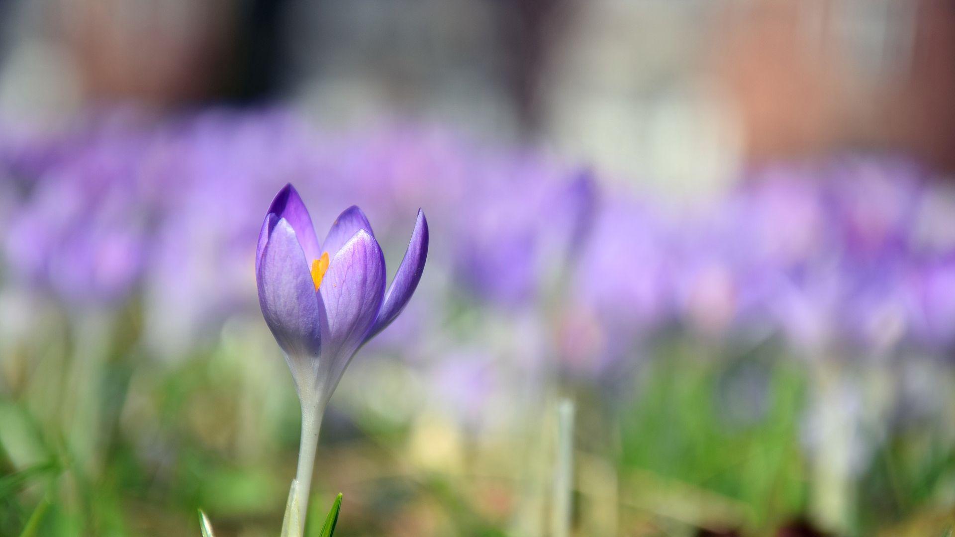Crocus, purple, single flower, blur Wallpaper