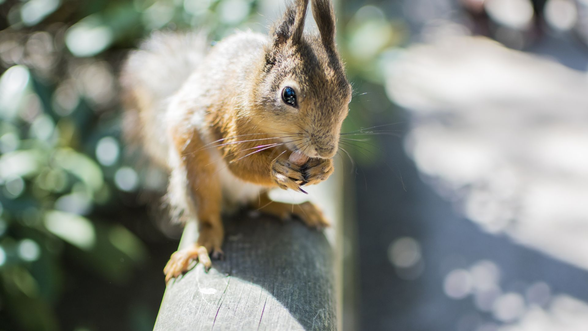 Wallpaper Squirrel, rodent, straight ear, animal