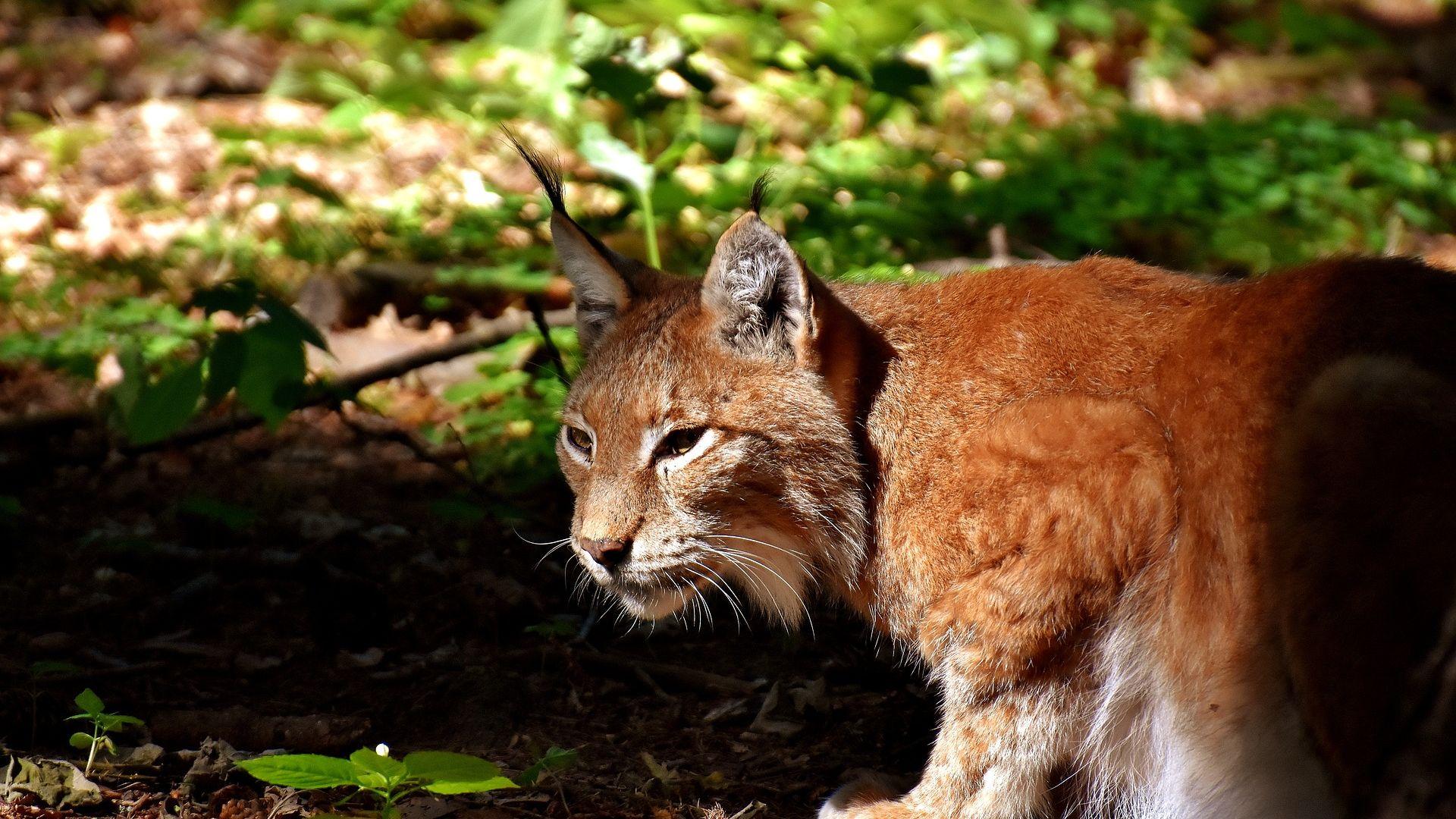 Wallpaper Wild cat, wildlife, Lynx, animal