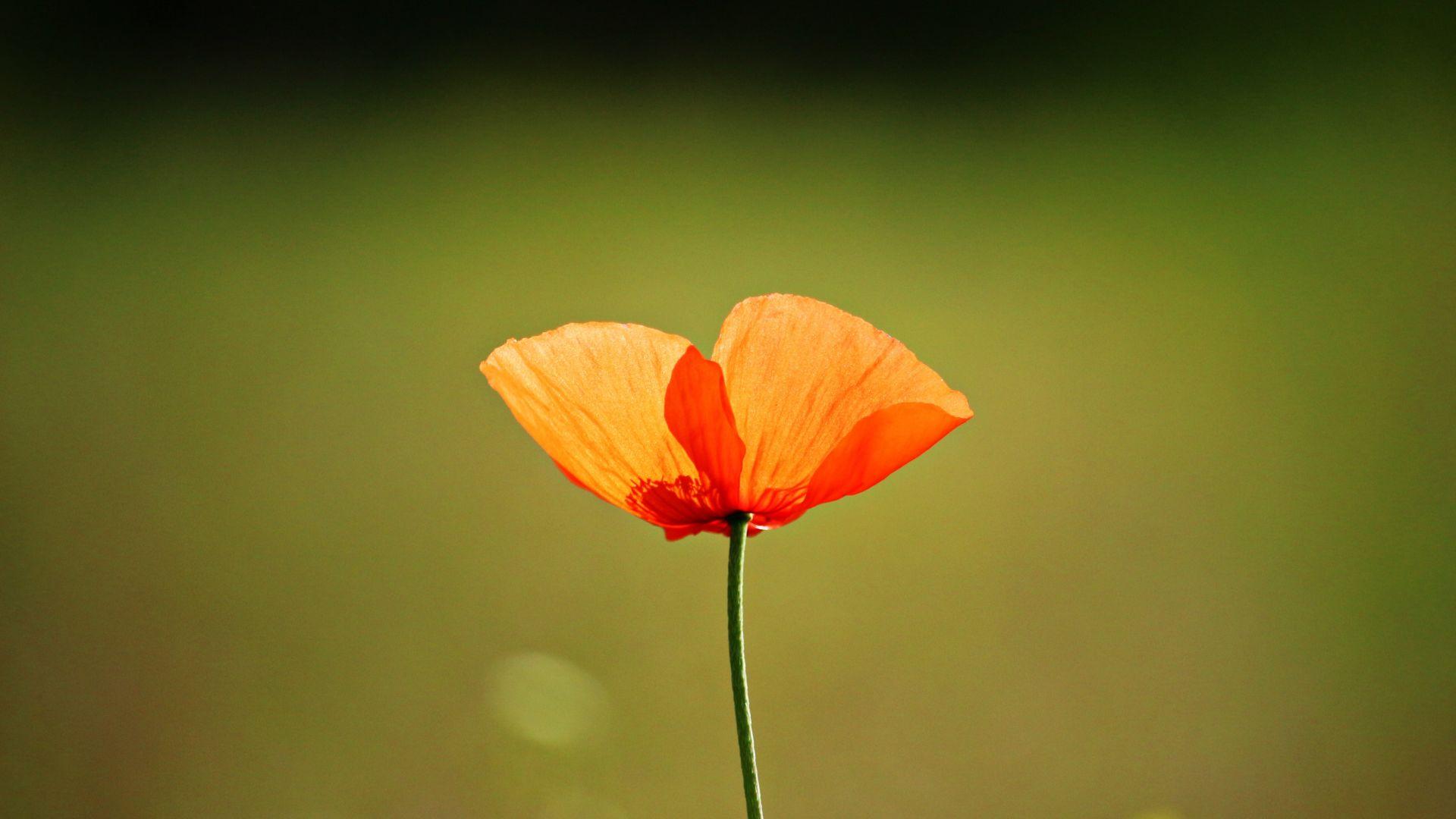 Wallpaper Single flower, orange poppy, blur