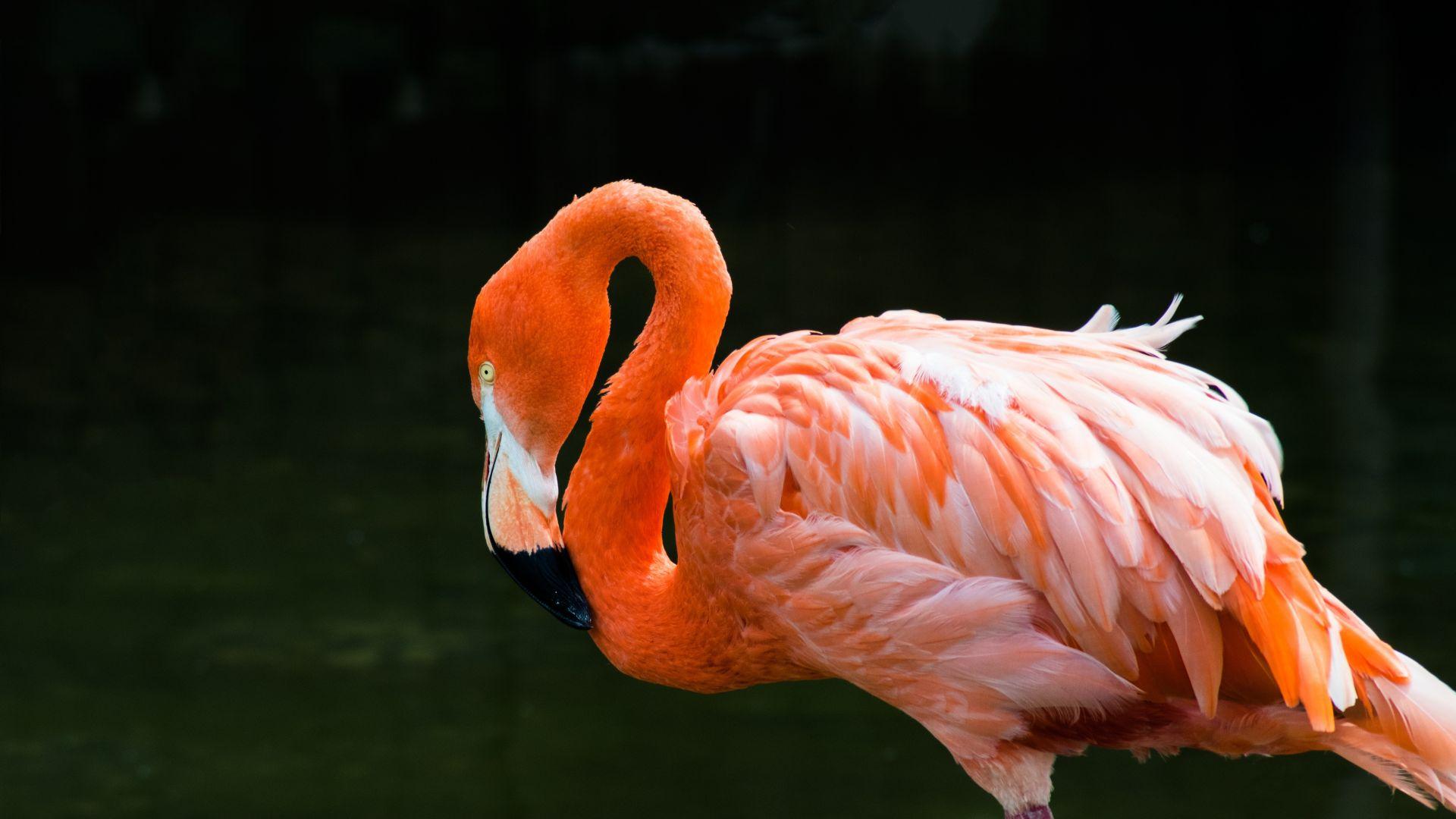 Wallpaper Flamingo, bird, pink bird, stand