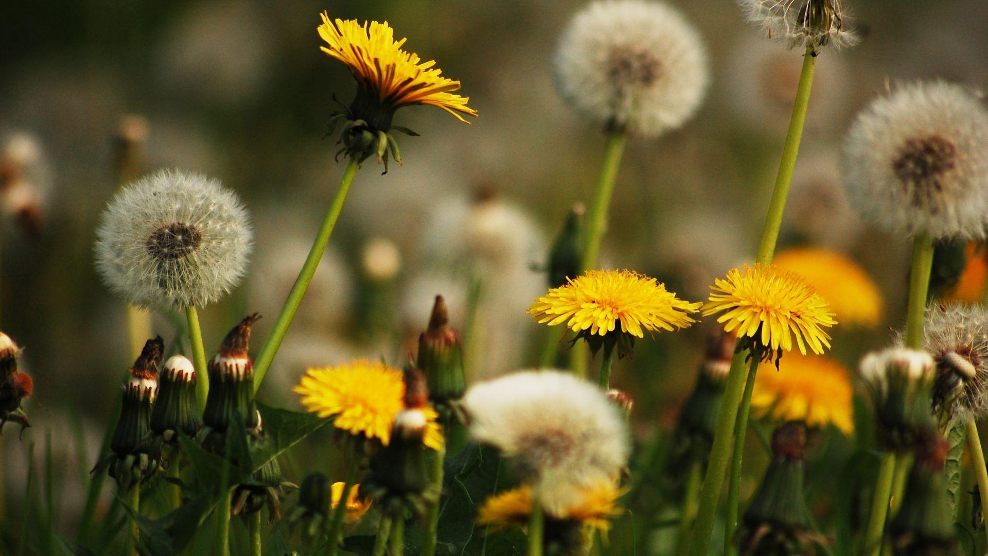 Wallpaper Dandelions, yellow flowers, meadow
