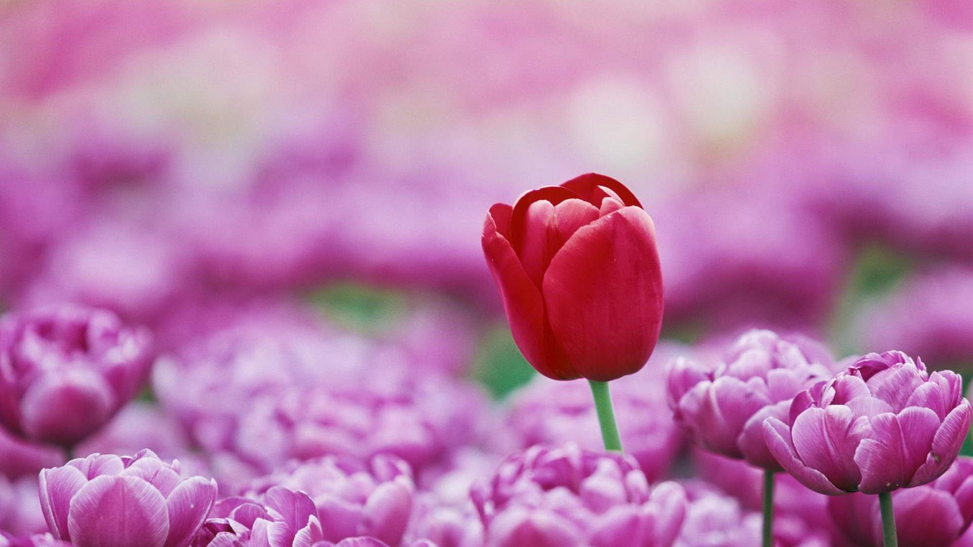 Red tulip, pink tulips farm, spring, blur