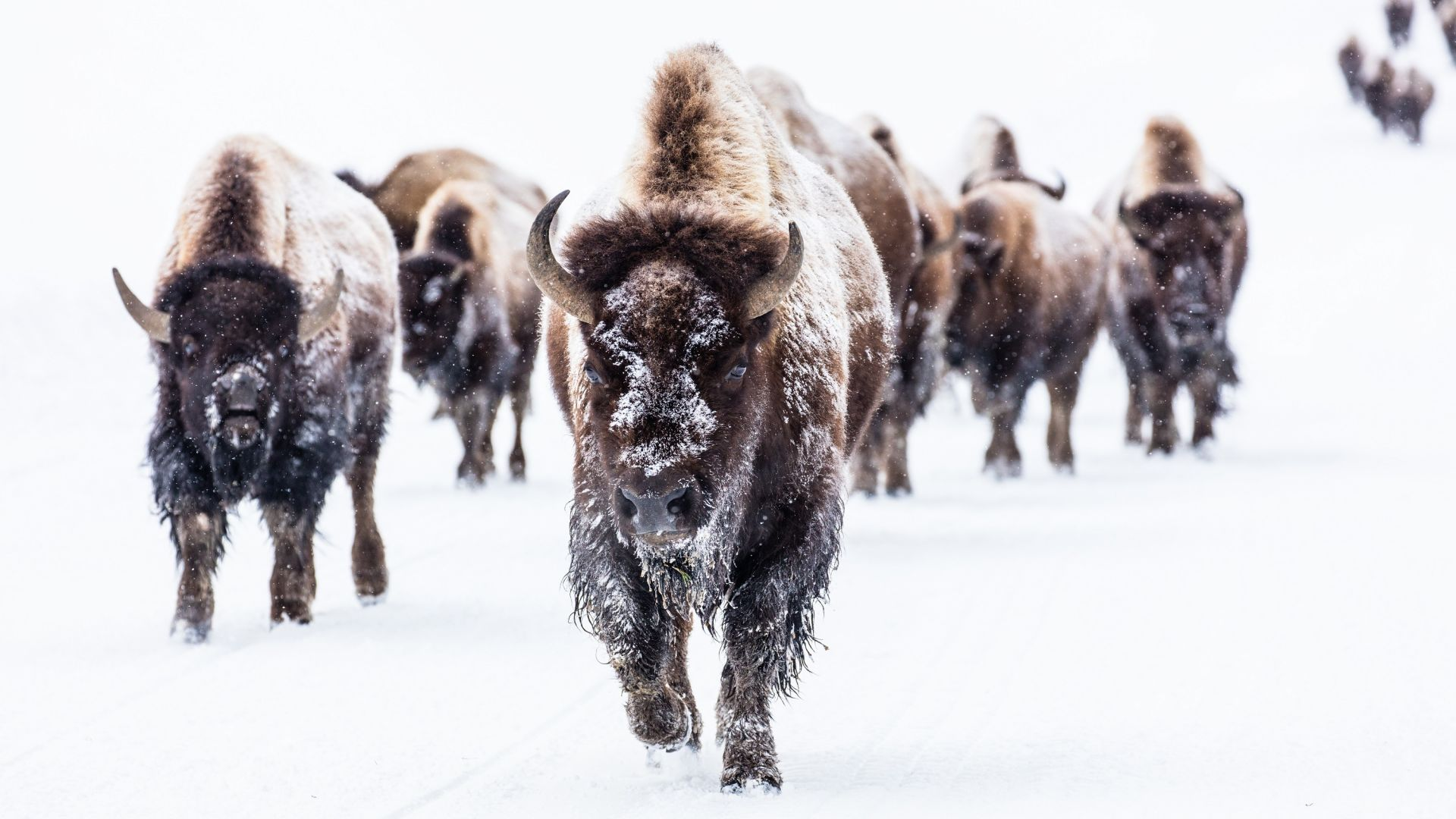 Wallpaper Bison, buffalo, herds, animal