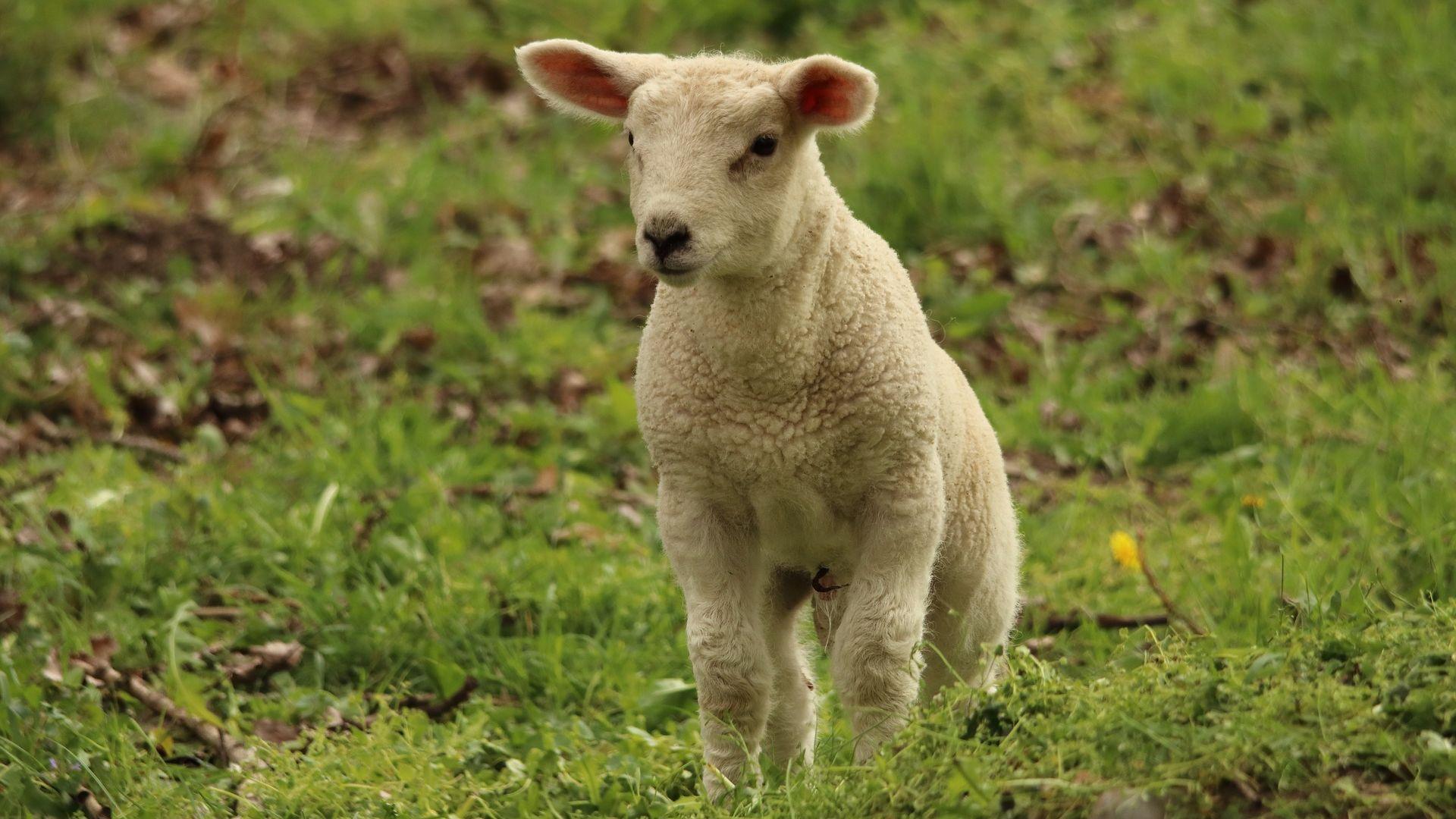 Lamb Baby Sheep Animal Cute Wallpaper
