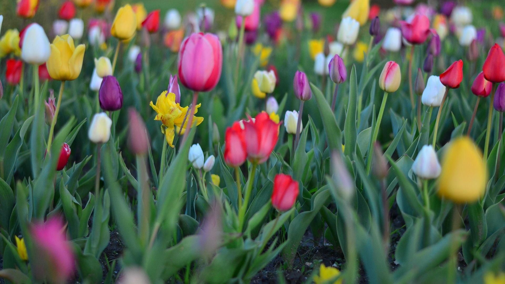 Wallpaper Tulips flowers, farm, spring
