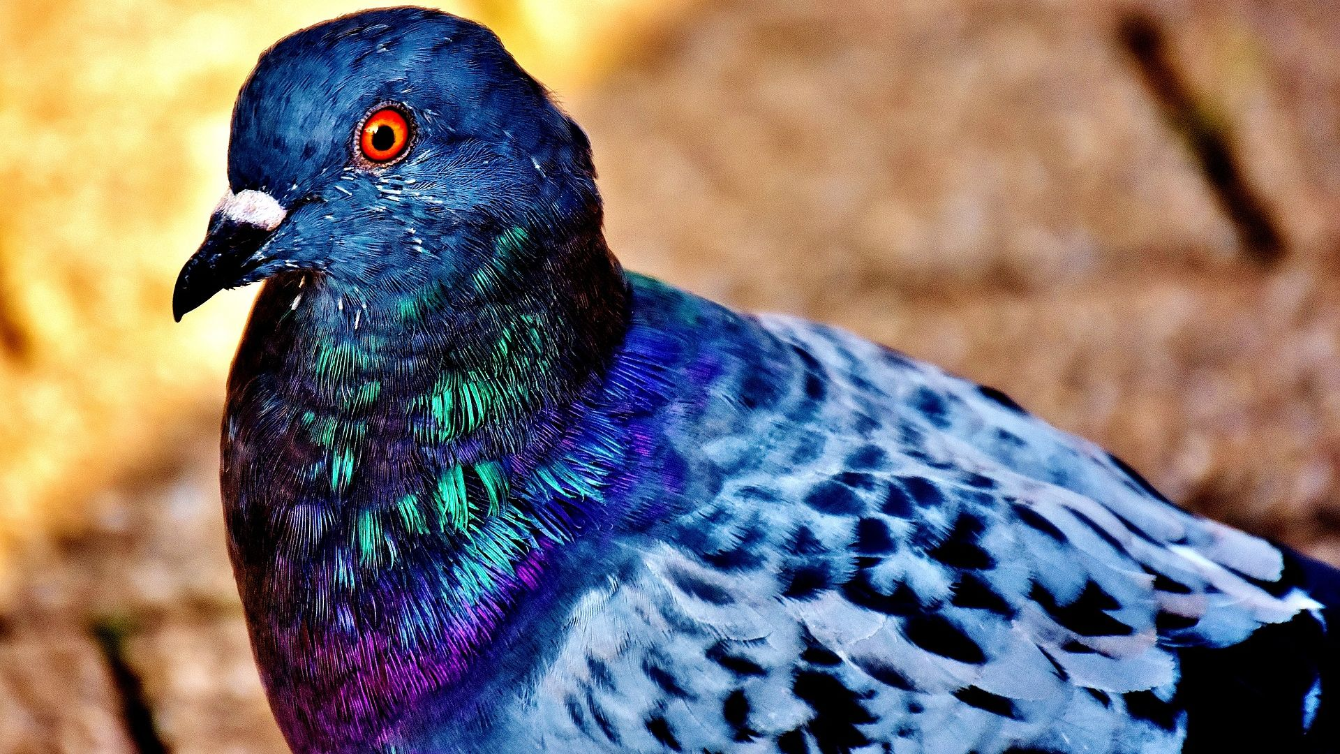 Wallpaper Dove bird, close up, colorful