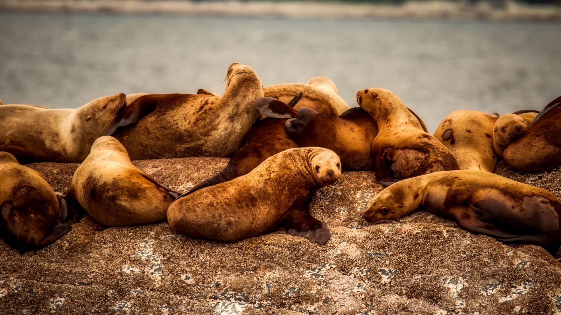Wallpaper Sea lions, water animals, relaxed