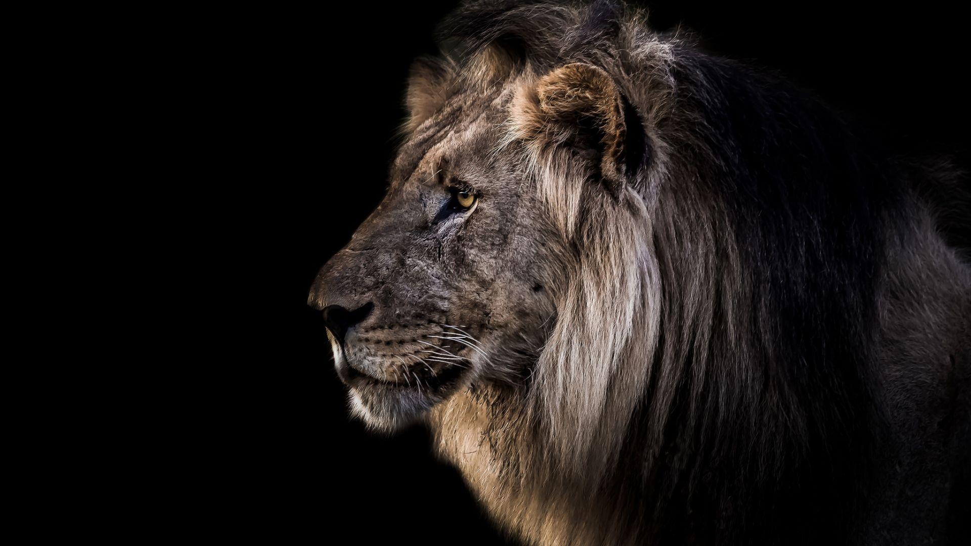 Wallpaper Lion muzzle, furry animal, predator