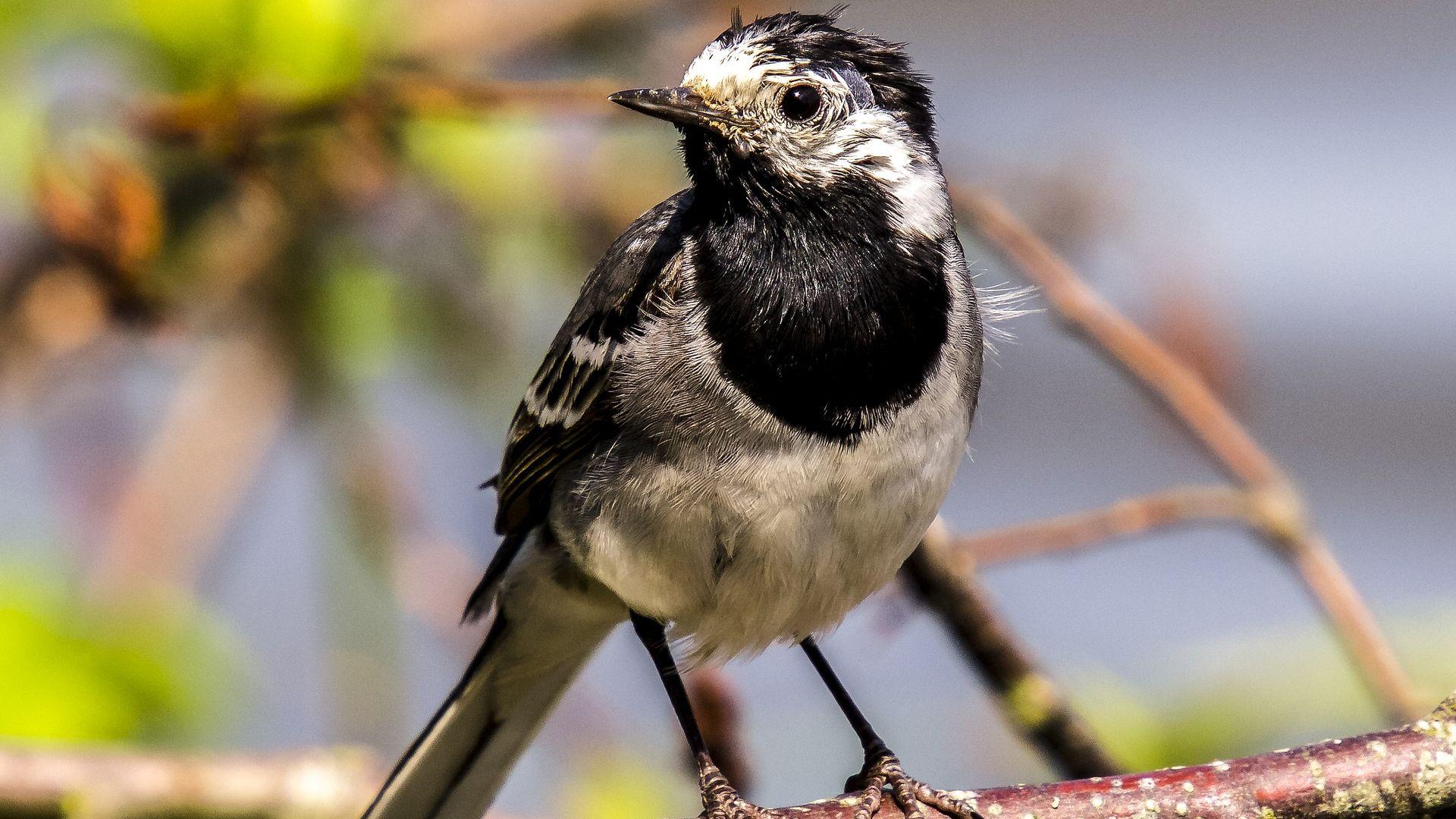 Wallpaper White wagtail, bird, sit