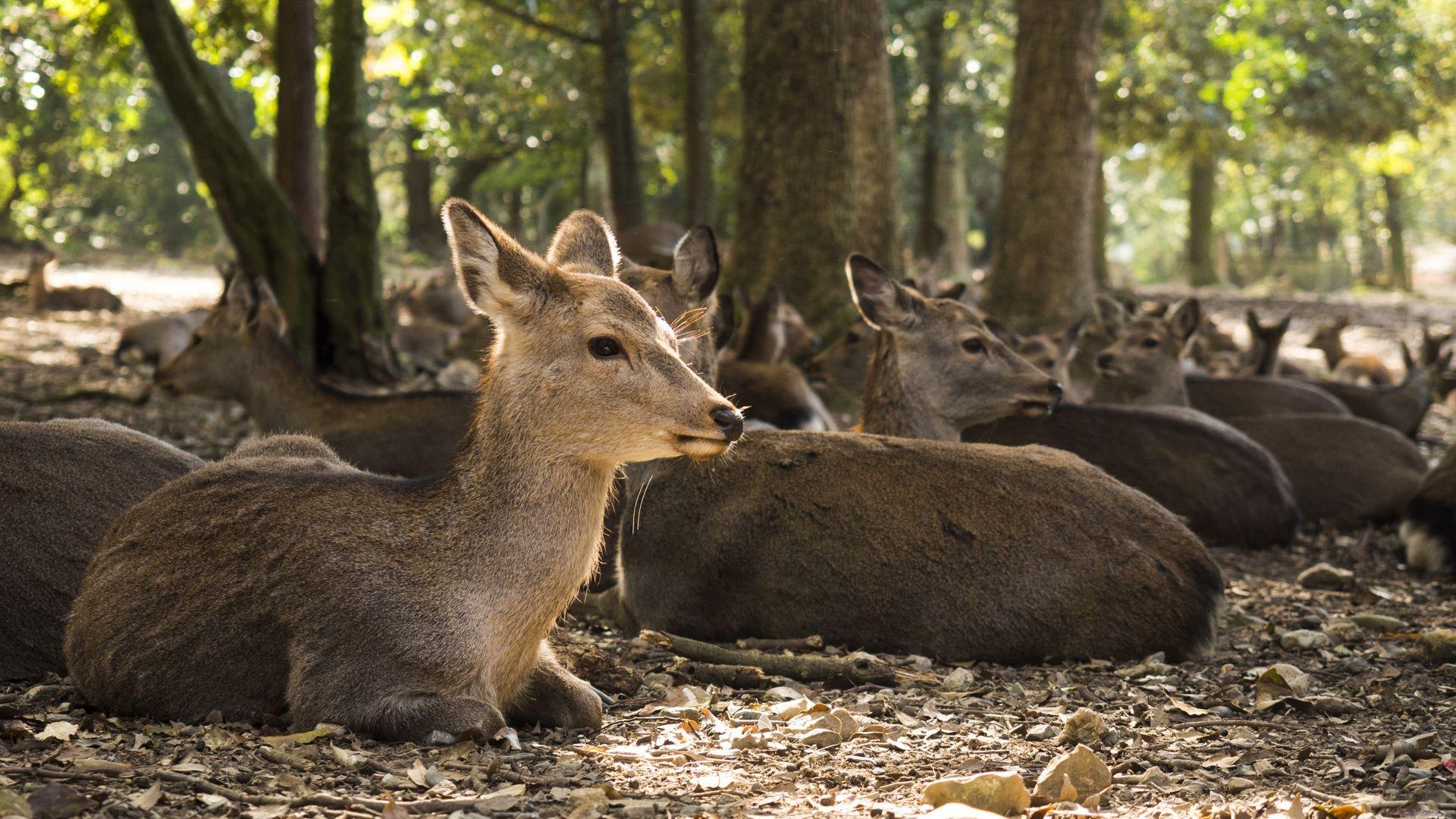 Wallpaper Deer herds