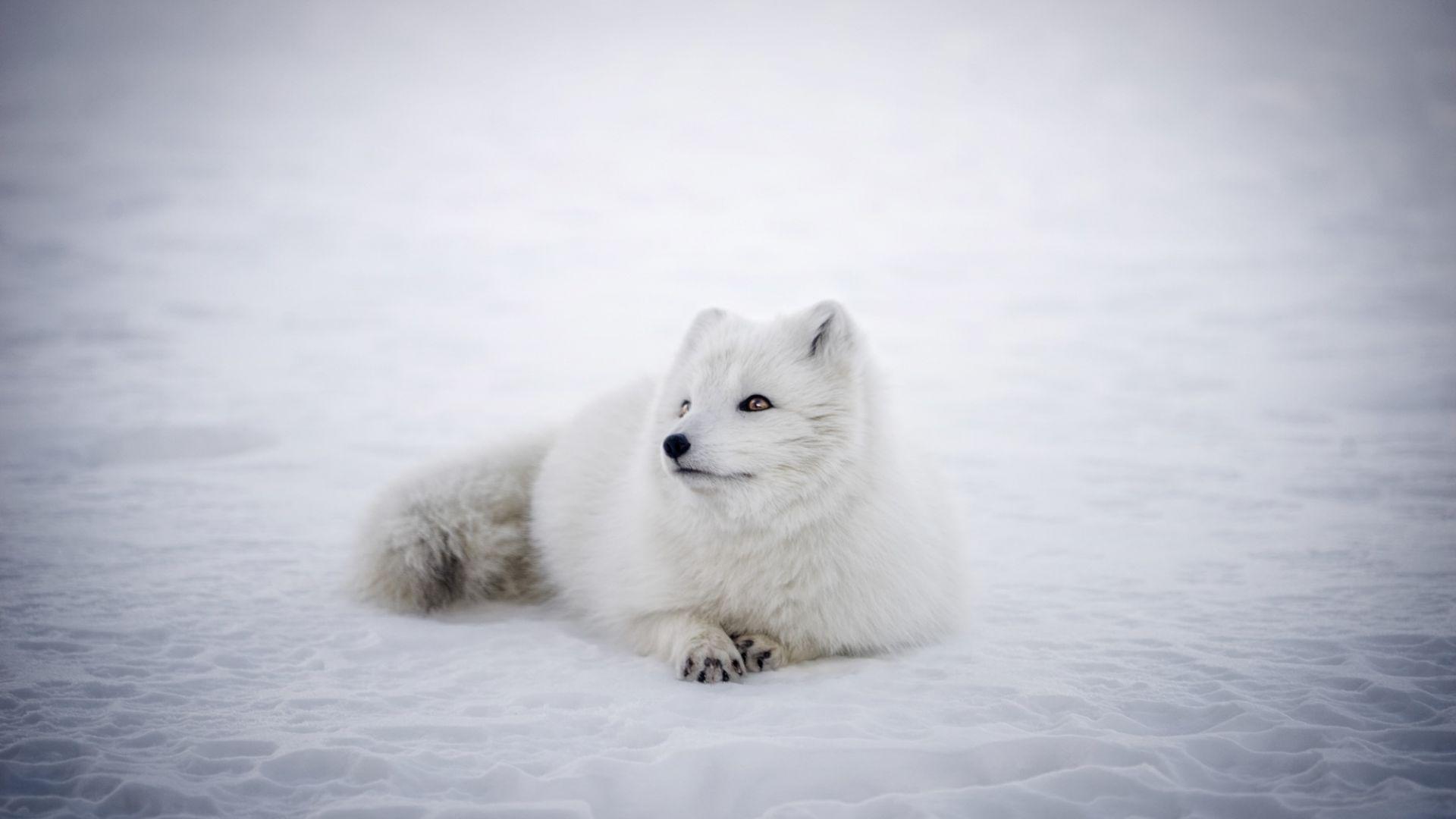 Wallpaper Arctic Fox animal, furry, wildlife
