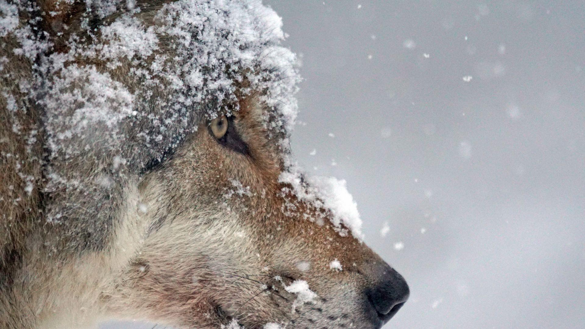 Wallpaper Wolf muzzle, snow, predator