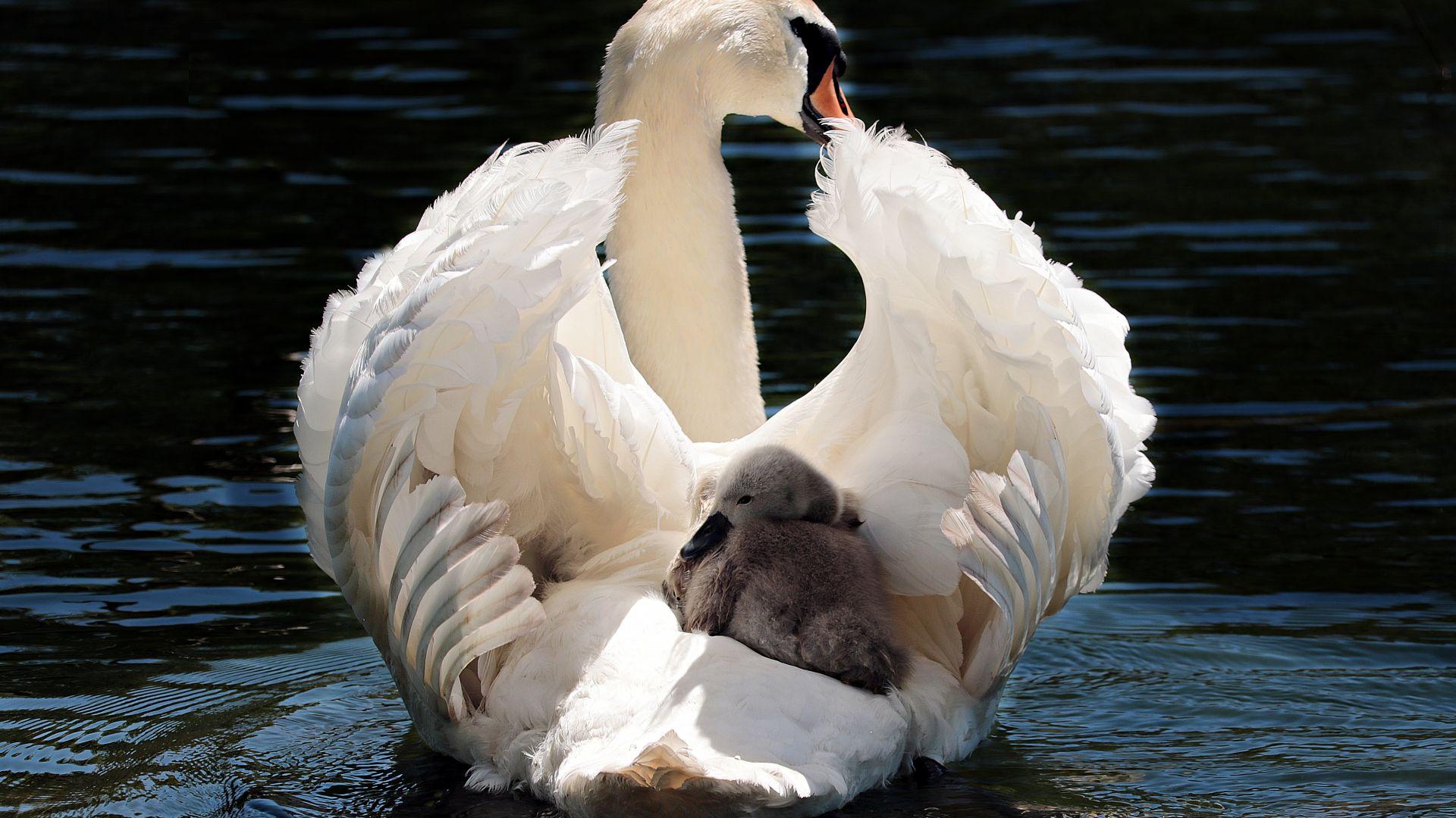 Wallpaper Swan, baby birds, swim
