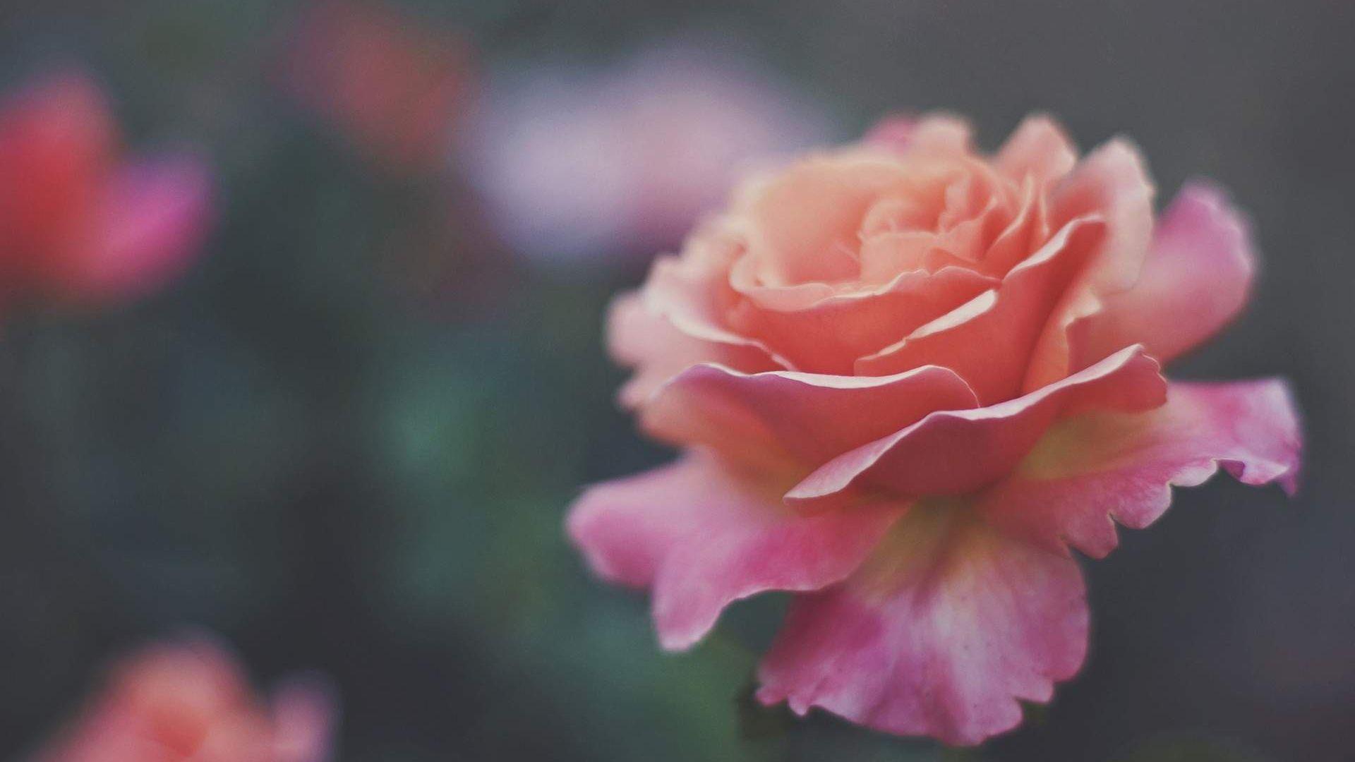 Wallpaper Pink roses, flowers, blur, bloom