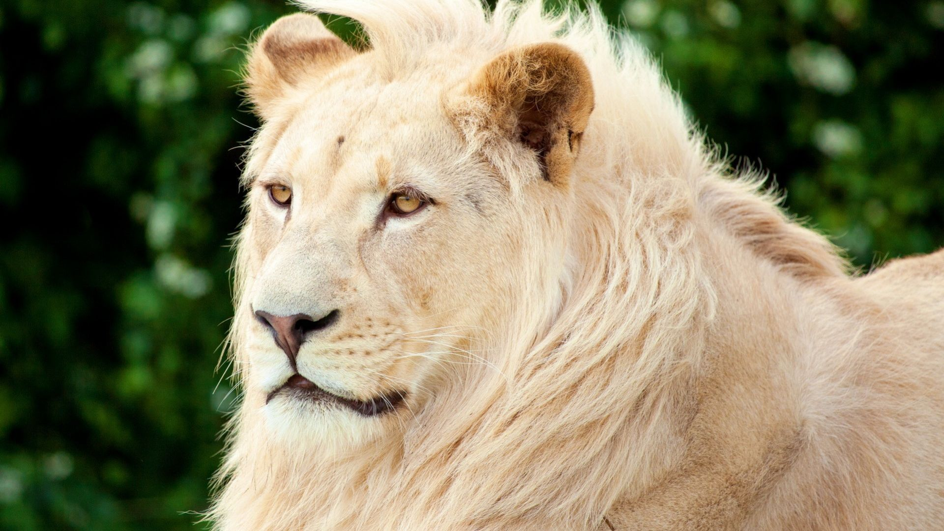 Wallpaper White lion, animal, predator