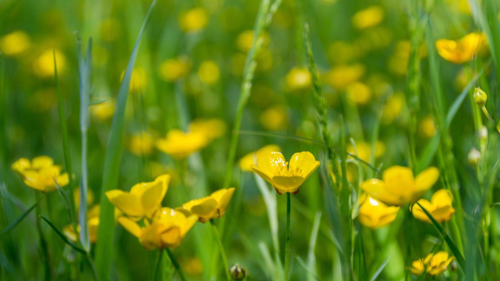 Wallpaper Meadow, flowers, buttercup, spring