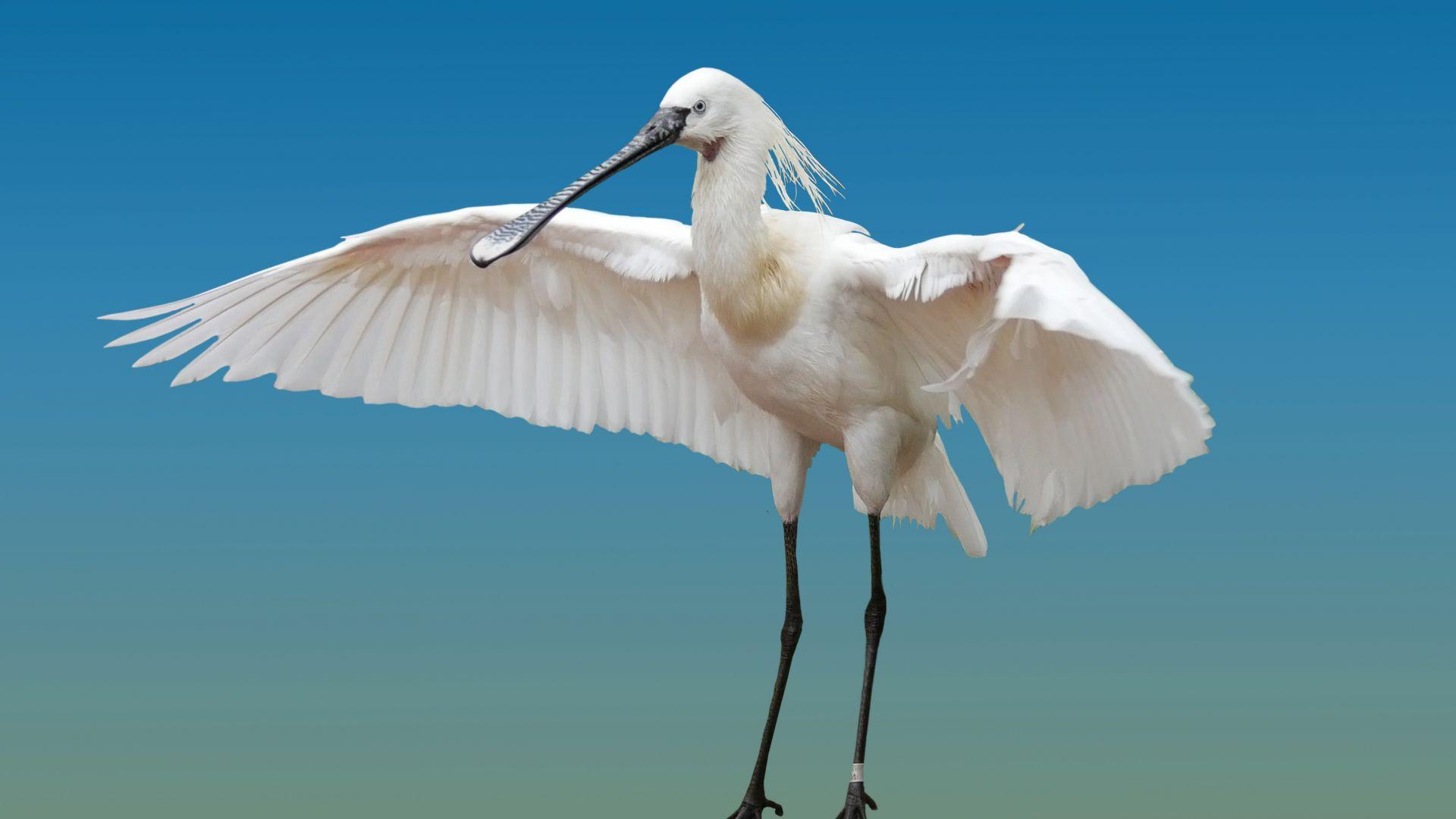 Wallpaper Heron, white water bird, wings