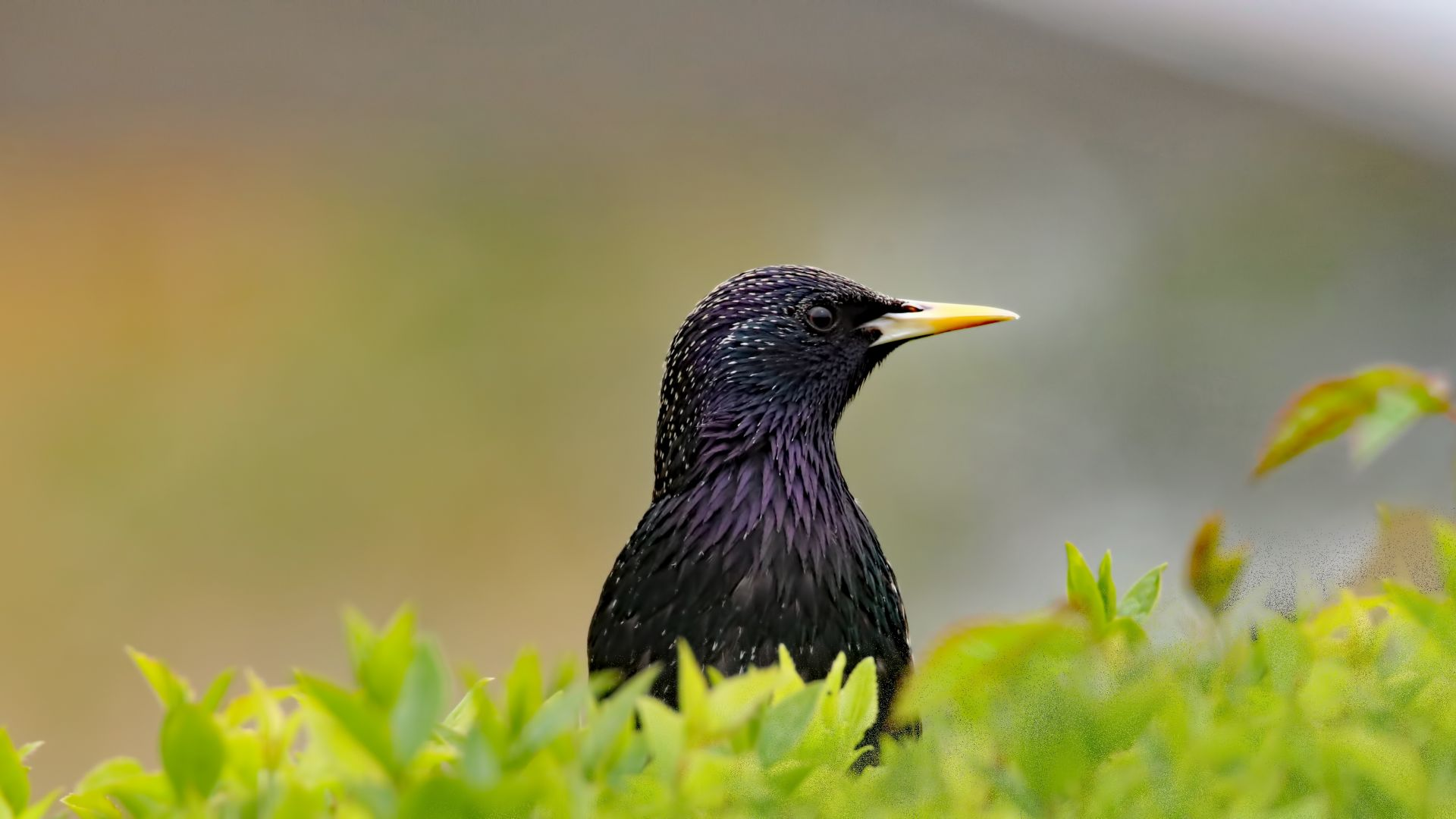 Wallpaper Starling bird, muzzle, leaves