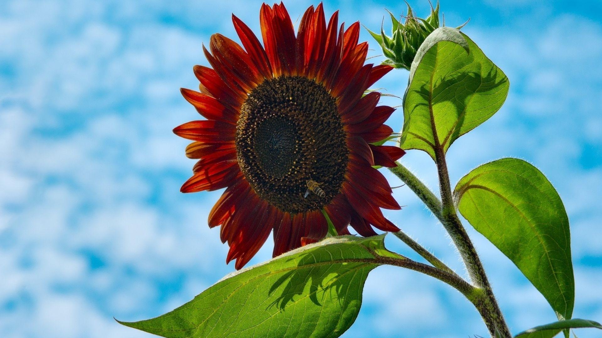 Desktop Wallpaper Red Sunflower Hd Image Picture Background Xxvews
