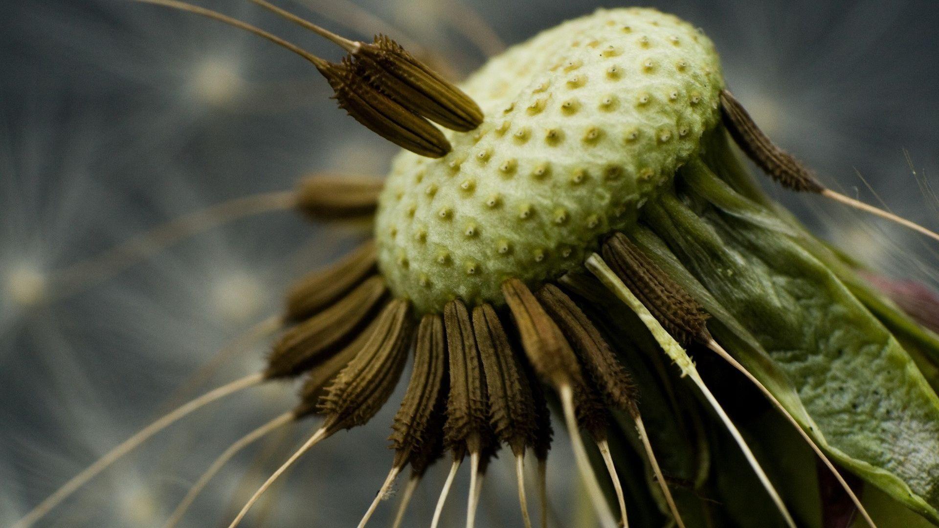 Wallpaper Dandelion flowers close up