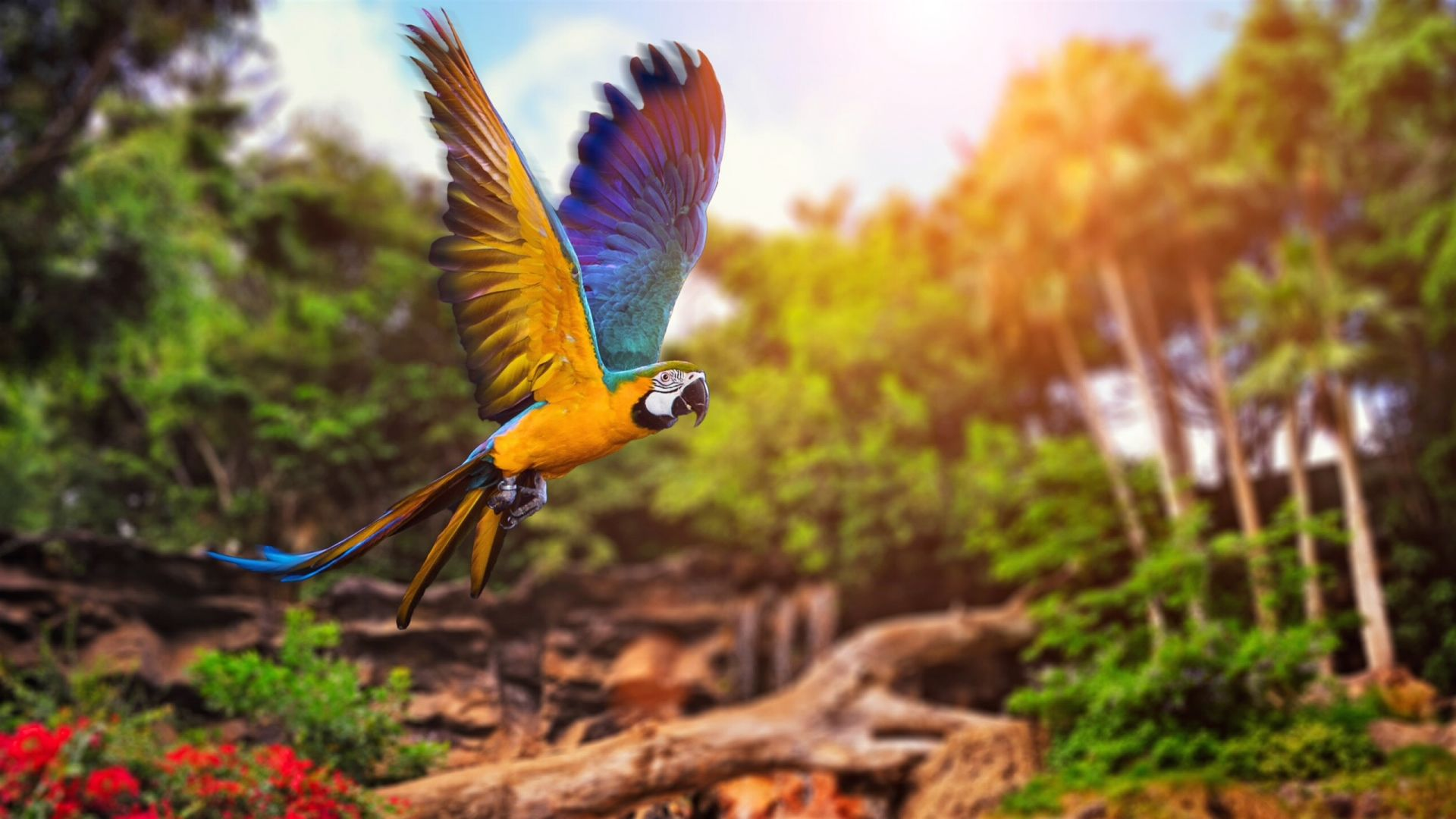Wallpaper Flying macaw parrot bird