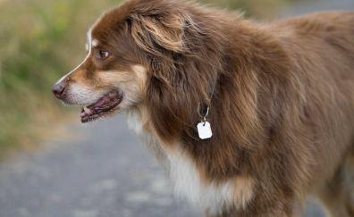 Herding dog, pet animal, furry