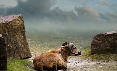 Cameroon sheep, sheep, animal, domestic