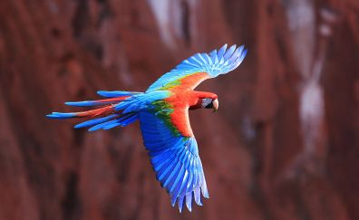 Macaw parrot flying
