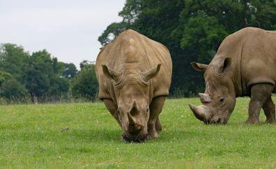 Rhino couple, grass field