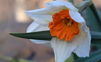 Daffodil flower, white flower