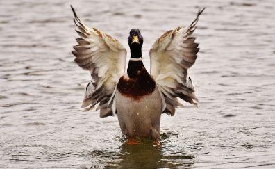 Drake duck, bird, wings, lake