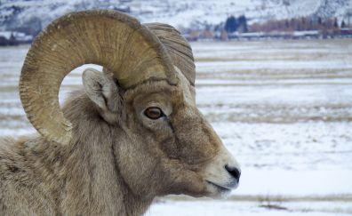Bighorn sheep, wild animal