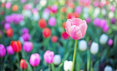 Colorful tulips, bokeh, blur
