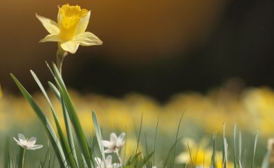 Narcissus, yellow flower, spring